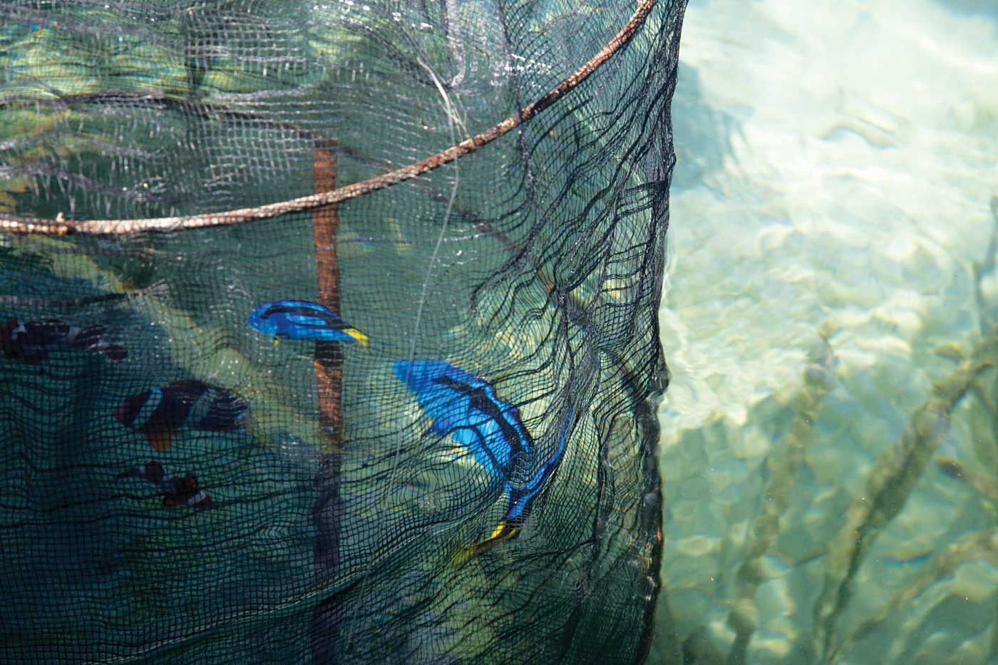Two blue tang swim around inside a net. To their left are three clown fish.