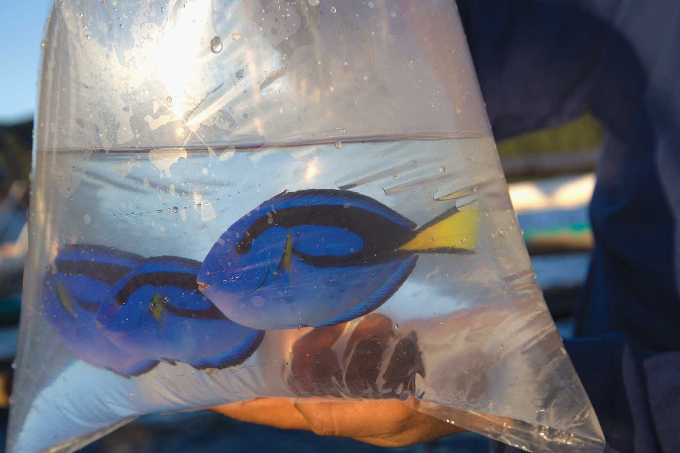 A bag of water containing three live blue tang. They are closely packed together.